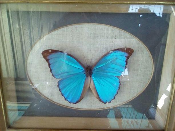 Настоящая экзотическая бабочка.Европа.