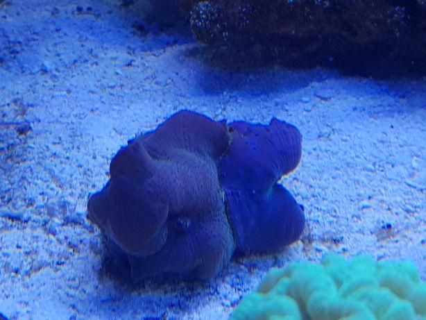 Discosoma akwarium morskie koralowce