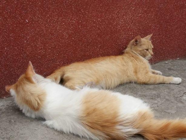 Рыжую кошку - стерилизованная в хорошие руки