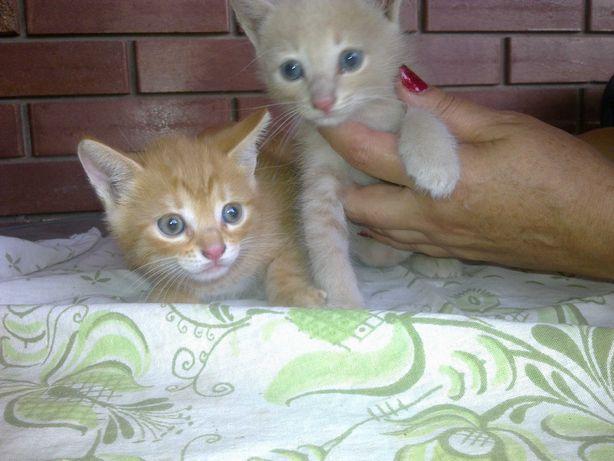 Отдам котят. Месяц от роду.  Один рыжий. Другой персикового цвета.