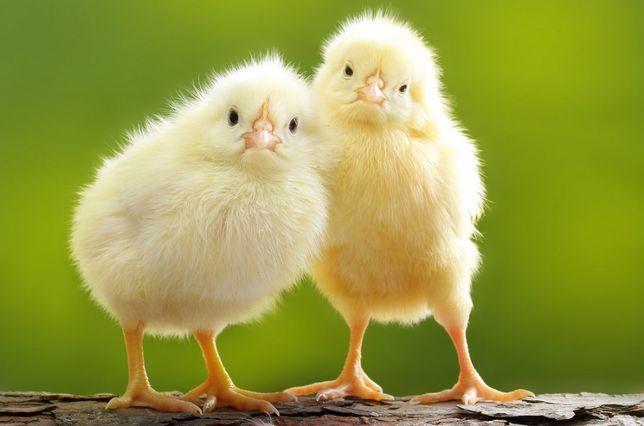 проинкубирую яйцо (инкубация яиц)