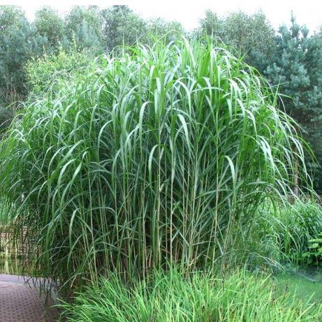 Miskant olbrzymi bambus trawa