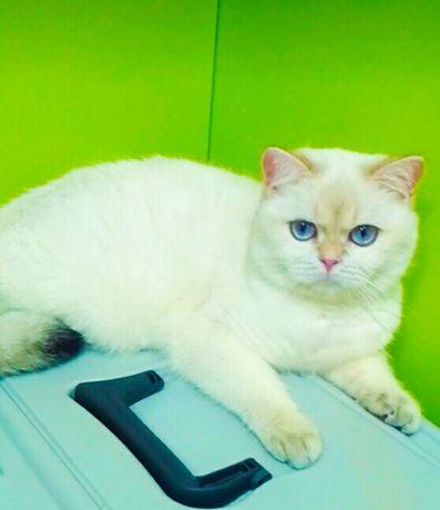 Золотая шиншилла котик Лоран Bri ay 11 33.