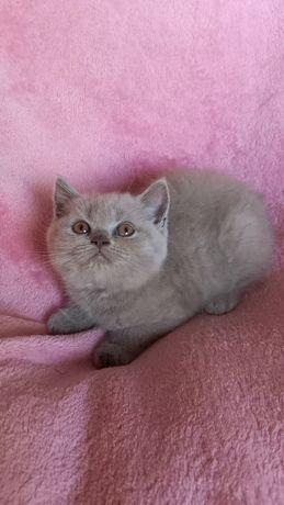 Banita liliowa kotka-prawdziwy rodowód FIFE