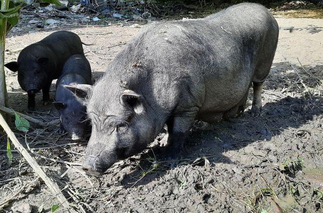 Продам свинью с поросятами. Срочно!