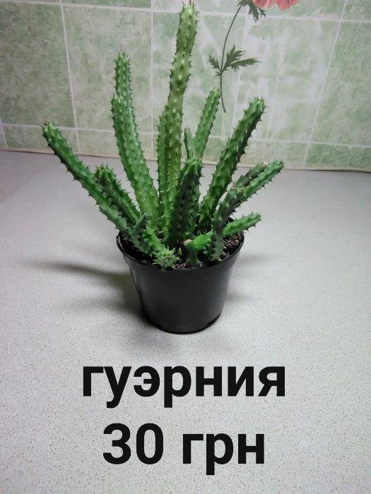 Кактусы суккуленты Кременчуг - изображение 1