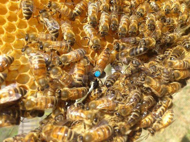 Пчеломатка Породы Карпатка