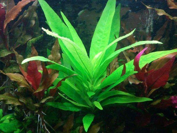 Planta de aquário - 2 pés