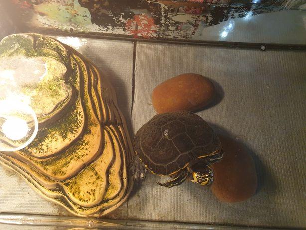 Żółw hieroglifowy