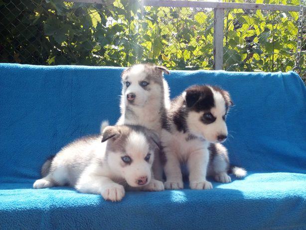 Предлагаются к продаже щенки Сибирский Хаски.