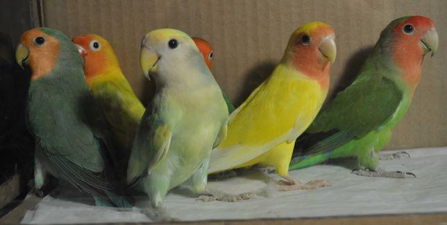 Волнистые попугаи неразлучники