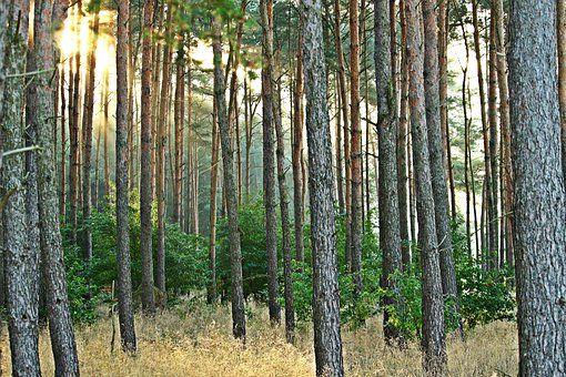 Бортничи, ул. Лесная, участок в сосновом лесу, без %