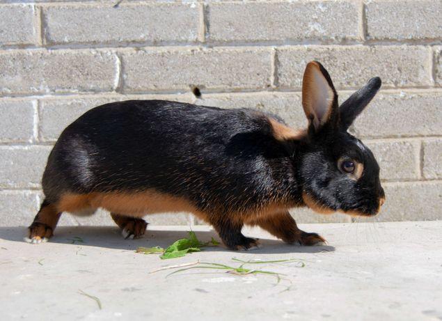 Samiec królik podpalany czarny