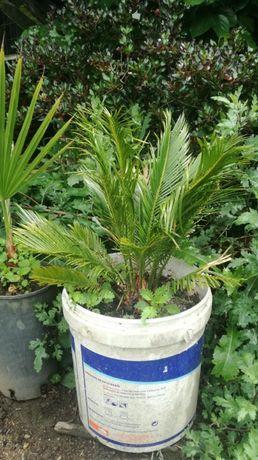 Palmeira Sica Jardim