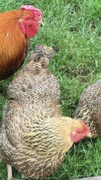 jaja lęgowe   Wyandotte złoto kuropatwiana olbrzymia