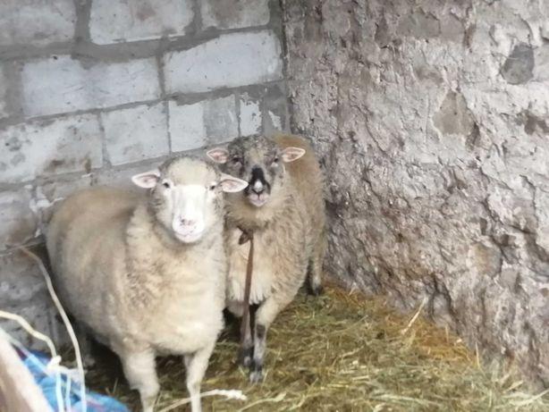 Sprzedam dwie owce