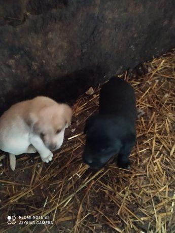 Psy matka Labrador