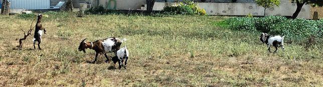 Vendo 4 cabras anã