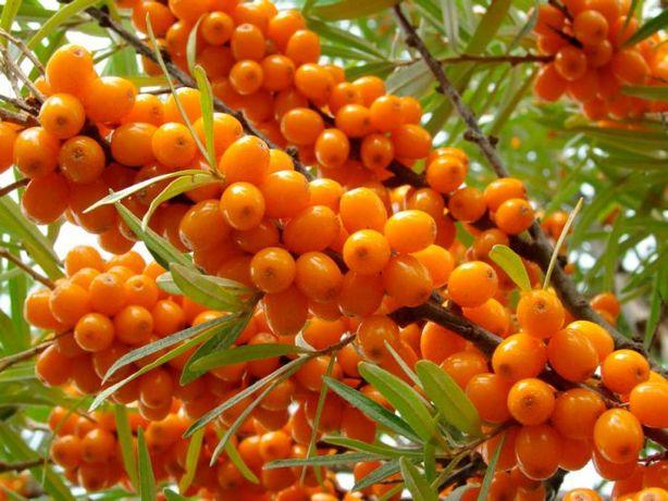 Саженцы облепихи, малины, ежевики, смородины, лимонник
