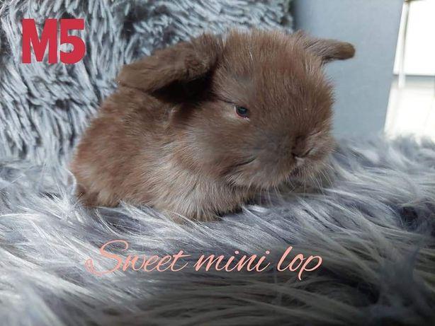 zarejerwowana hodowla oferuje króliczki Mini Lop