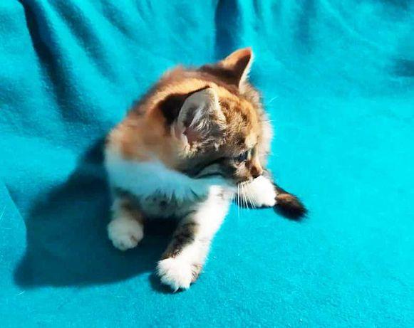 Милая зайка Джели, 1.5 мес, окрас трехцветный, котенок, кошка, кот