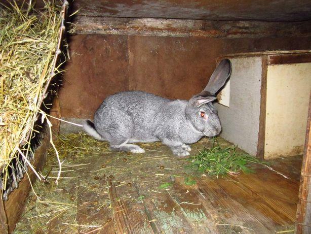 Продаю породисті кролики - порода шиншила. Молоді кітні самки.