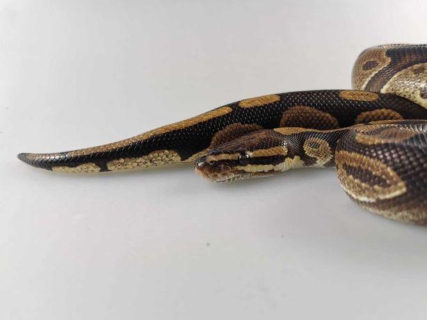 Wąż królewski Normal 1 Samiec 1300g