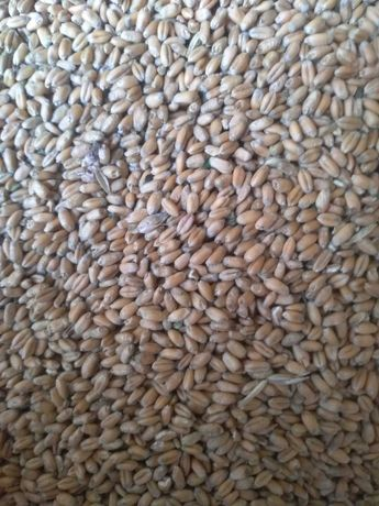 Продам пшеницю урожай 2021