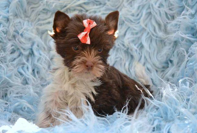 Dolly Yorkshire Terrier York biro suczka biało-czekoladowa z rodowodem