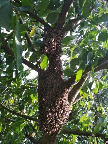 Рої, відводки бджолосімей