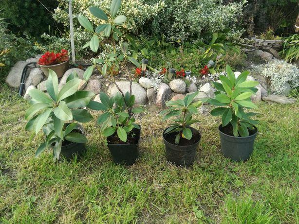 Rododendrony 22szt