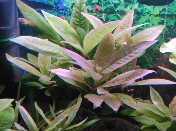 Hygrophila carymbosa - Orzech wodny na trzeci plan