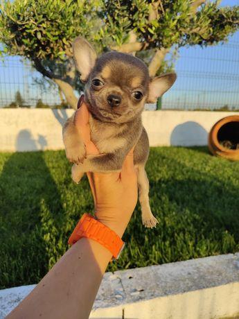 Chihuahua machinho LOP