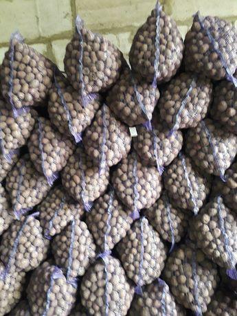 Посадкова картопля (семенной картофель)