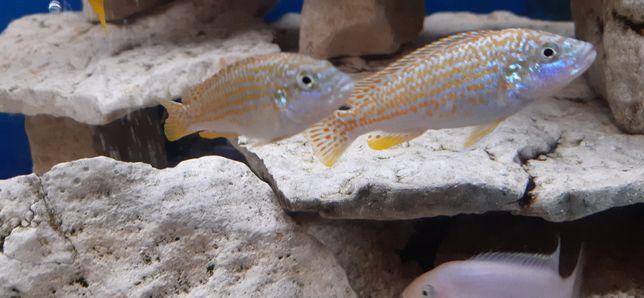 Rybki akwariowe - Pyszczak Joanny - Melanochromis Joanjohnsonae