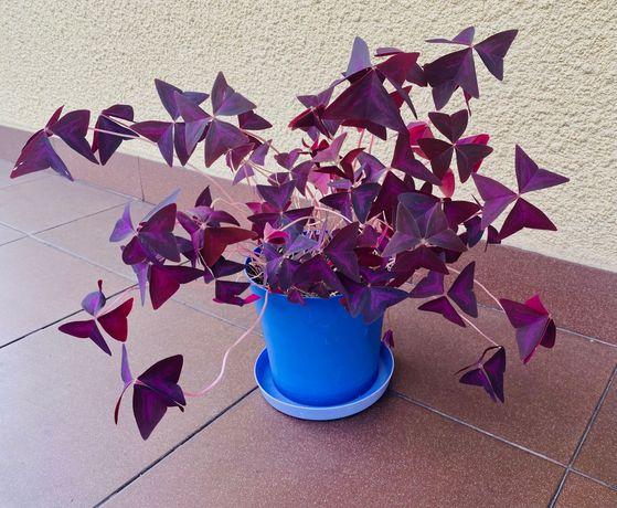 Szczawik trójkątny purpurowy, kwiat miłości-10szt.