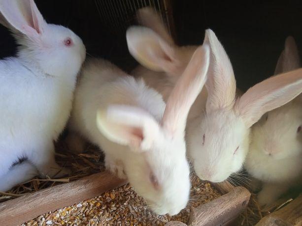 Termondzkie biale samce