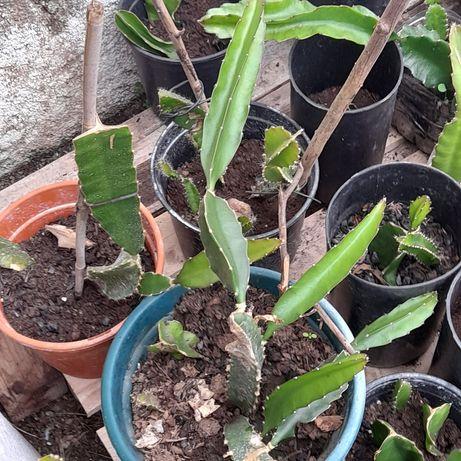 Vasos de Pitaya ja grandes