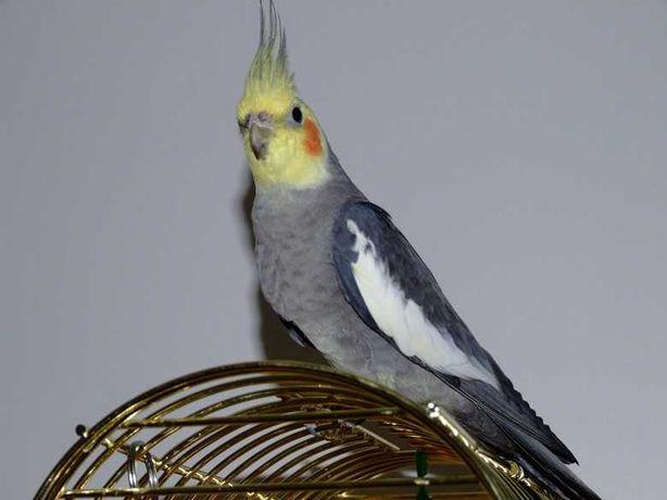 Молодой попугай карелла ( Самец)