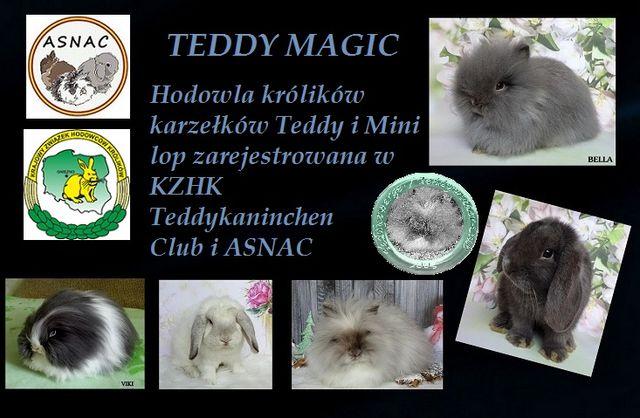 Hodowla królików karzełków Teddy i Mini Lop - Teddy Magic!