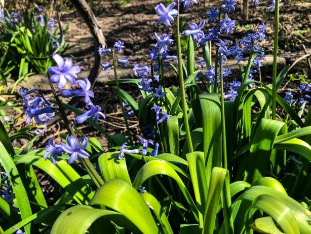 Гиацинты цветником по 10-20 штук