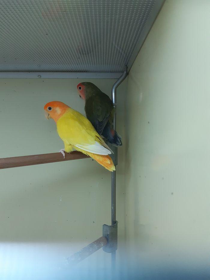 Papużki Nierozłączki (para) Chorzów - image 1