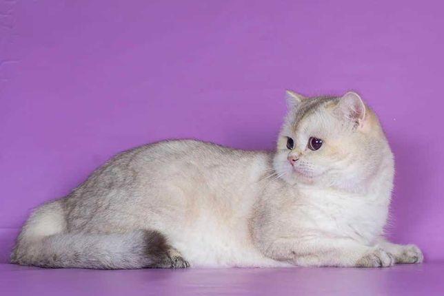 Чистокровный Британский кот окраса ny1133 открыт для вязки