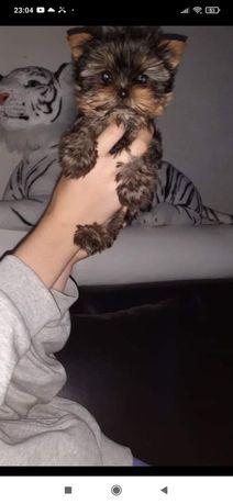 Yorkshire Terrier rodowodowe szczenięta