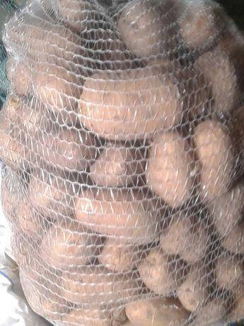 Ziemniaki jadalne.