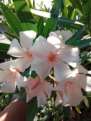 Oleander - kwiat