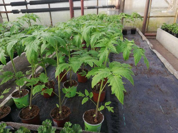 Sadzonki pomidora malina i zwykły do szklarnii