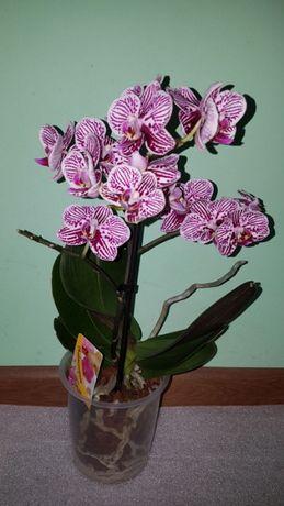 Орхидея Taida Little Zebra, орхидейка Таида Маленькая Зебра, цветет