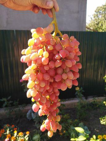 Продам черенки и саженцы винограда кишмиш лучистый