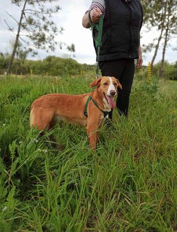 Ashley- cachorra de porte médio para adoção